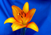 A Pretty Macro Photograph Of An Orange Lily Against A Slightly Defocused Blue Background Makes A Lovely Portrait With Plenty Of Copy Space.