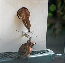 A Pair Of Carolina Wrens Build On Their Nest.