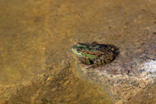 A Green Marsh Frog With Blask Spots And Lines On Its Skin