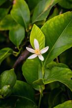 Macro Closeup Of Orange Blossom Of Lemon Tree In Organic Farm