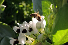 A Bee Pollinating Broad Bean White Flowers With A Black Spot
