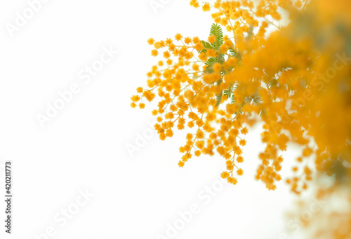 Slika na platnu ミモザ 鮮やかな黄色の花 花束 パノラマ クロースアップ 白背景 日本