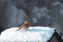 European Red Robin In The Snow