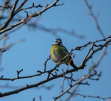 Blue Tit Perched In A Bare Tree, Looking Slightly Away From The Camera