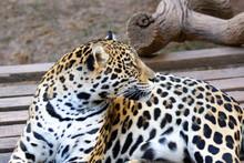 Jaguar In Closeup Looking Back With Its Magnificent Coat