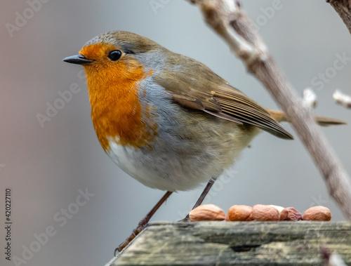 robin feeding Wallpaper Mural
