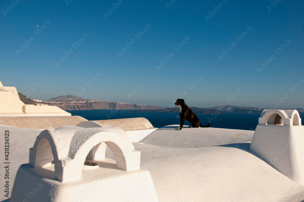 Fototapeta A friendly dog sitting on the roof of a house in Oia, on the island of Santorini in Greece observes the view. In the background the caldera of the submerged volcano