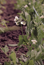 Sweet Pea Flowers In The Garden