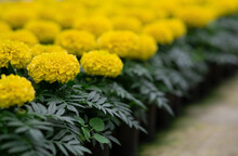 Spring Bloom Of Marigolds, Sales Season In Greenhouse And Preparation For Planting