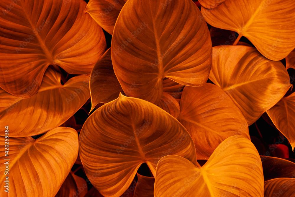 Fototapeta abstract colorful leaf texture, dark  foliage nature background, tropical leaf
