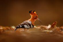 Hoopoe Sunset. African Hoopoe, Upupa Africana, Nice Orange Bird With Crest Sitting On Ther Green Tree In The Summer Meadow, Botswana. Beautiful Bird In Nature Habitat, Wildlife Mana Pools, Zimbabwe.