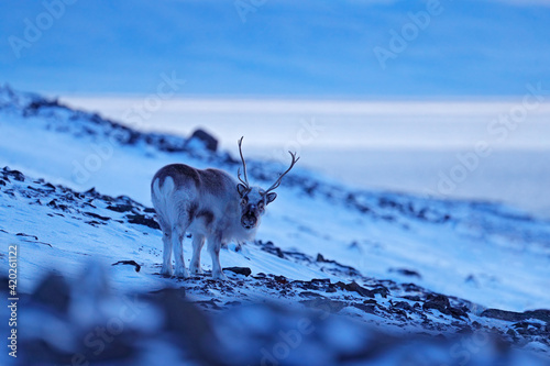 Wild Reindeer, Rangifer tarandus, with massive antlers in snow, Svalbard, Norway Fotobehang