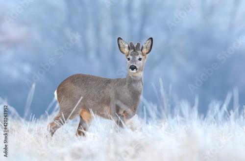 Fototapeta Wild roe deer in a frost covered field obraz