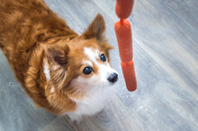 Hungry Dog Looks At A Sausage. Dog Food Concept