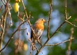 beautiful robin with a grub perched in a tree in the spring sunshine
