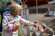 The Girl Feeds The Geese With Carrots From Her Hands.