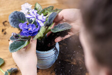 A Woman Transplants A Blooming Violet Into A New Pot.