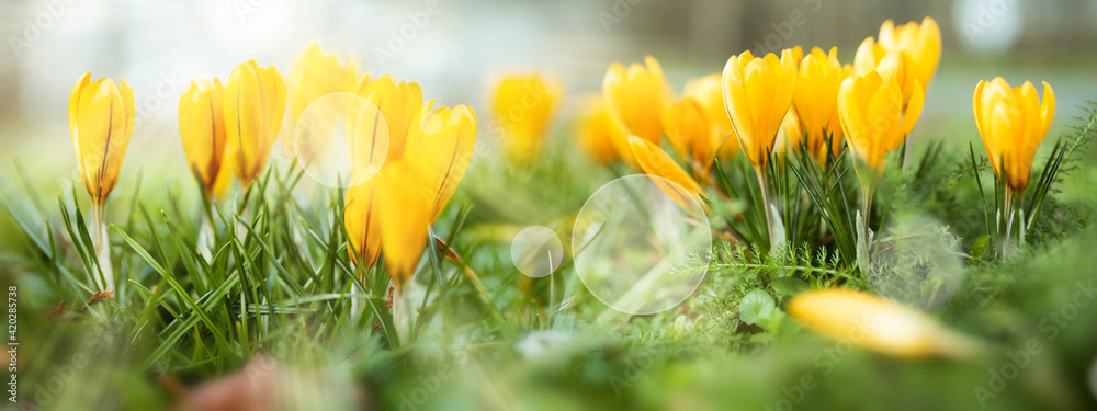 Fototapeta Yellow blooming crocus in sunny spring. Seasonal background with bright bokeh. Horizontal close-up with short depth of field and space for text.