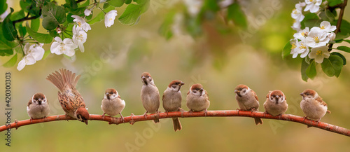 Fotografie, Obraz little funny birds and birds chicks sit among the branches of an apple tree with