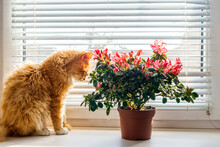 Blooming Pink Azalea In Flower Pot And Ginger Cat On Windowsill