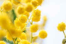 Fresh Mimosa Flower Branches Close Up. Spring Floral Abstract Background. Selective Focus