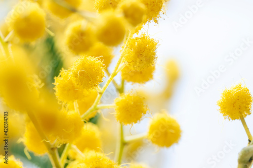 Tela Fresh mimosa flower branches close up