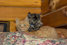 Two Small Kittens, Black Smoky And Red, Lie Quietly On A Cushion In A Wooden House. They Are Calm And Relaxed. These Are Tortoiseshell (tortie) Persian Smoky And Red European Cat.