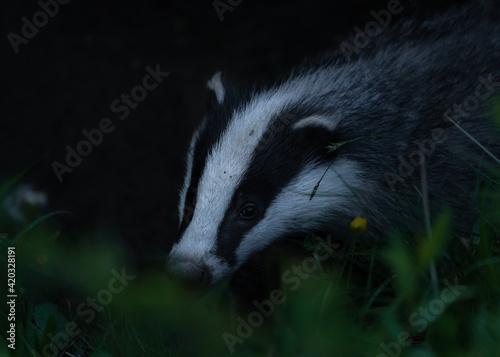 Papel de parede Meles meles or the badger in the environment