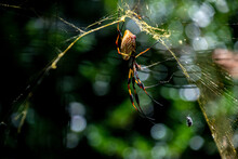 A Single Large Orb Spider Waiting On Its Web