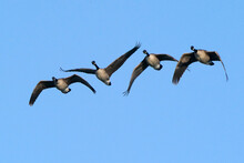 Four Canadians In Flight Over Lake In Early Spring