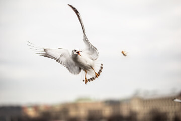 Seagull catching piece of food thrown by a tourist in the city
