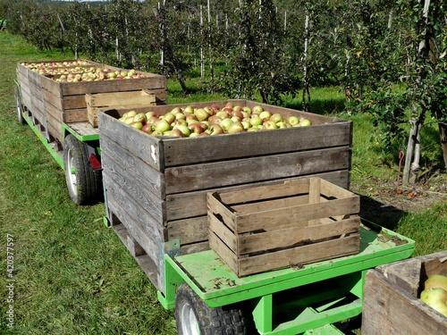 Fototapeta Transportwagen mit Holzkisten gefüllt mit geernteten Äpfeln in der Plantage obraz