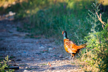 Ringneck Pheasant Or Phasianus Colchicus On Ground