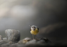 The Grey Wagtail (Motacilla Cinerea) Is A Member Of The Wagtail Family, Motacillidae, In The Environment