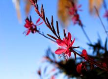 Beautiful Guara Lindheimeri Pink Flower