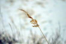 A Stalk Of Dry Yellow Grass On A Pale Blue Snowy Background. Wallpaper.