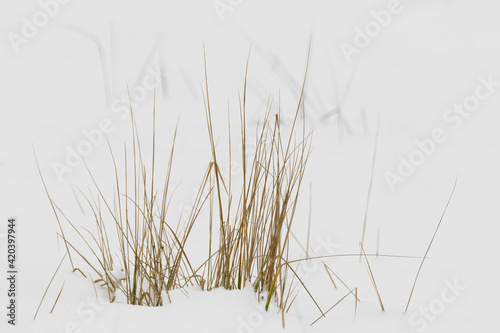 Reeds in the snow