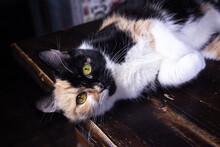 Beautiful Tricolor Cat. Beautiful Calico Cat Peeking Through Two Tree Trunks.