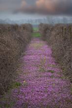 Lush Spring Flowers Bloom Between The Rows Of The Vineyard. Spring Gardens.