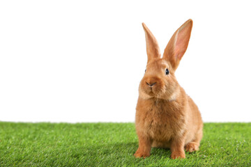 Cute bunny on green grass against white background, space for text. Easter symbol