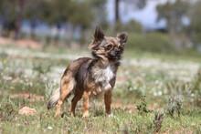 Chihuahua Debout Dans Une Prairie