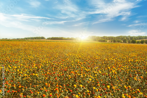 Fototapety, obrazy: Beautiful spring landscape field with bright yellow and red flowers .