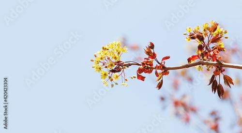 Obraz na plátně Blossoming red maple tree branch on blue sky background