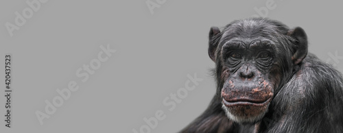 Photo Banner with a portrait of happy smiling Chimpanzee, closeup, details with copy space and solid background