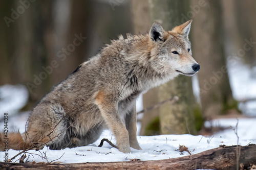 Canvas-taulu Wolf in the forest up close. Wild animal in the natural habitat