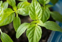 Planting Seedlings. Spring Work In The Garden. Close-up Shot Of Green Pepper. Seedling Trays.