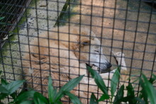 Sleeping Wolf In Cage In Zoo