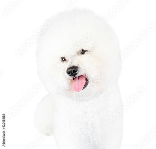 Portrait of a cute Bichon Frise isolated on white Wallpaper Mural