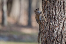 A Small Eastern Gray Squirrel Climbing A Tree. The Eastern Gray Squirrel Is Native To North America.
