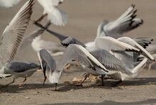 A Rush Of Black-headed Gulls To Grab Leftover Food At Busaiteen Coast, Bahrain